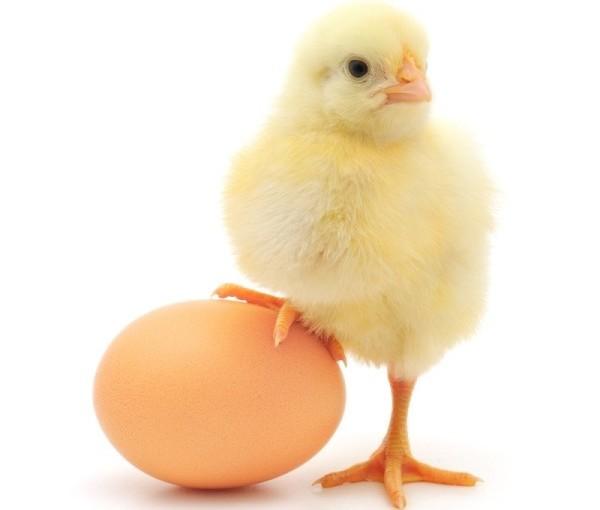 Цыпленок стоит одной лапкой на яйце