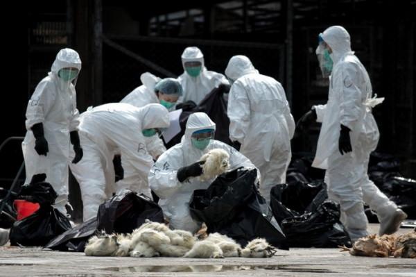 Утилизация кур, умерших от птичьего гриппа (Гонконг)