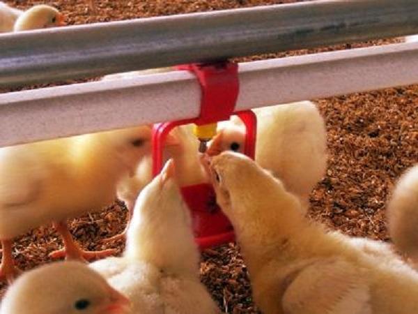 Цыплята пьют воду