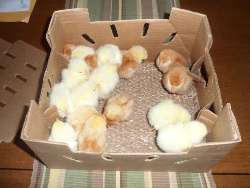 Транспортировка цыплят в коробке
