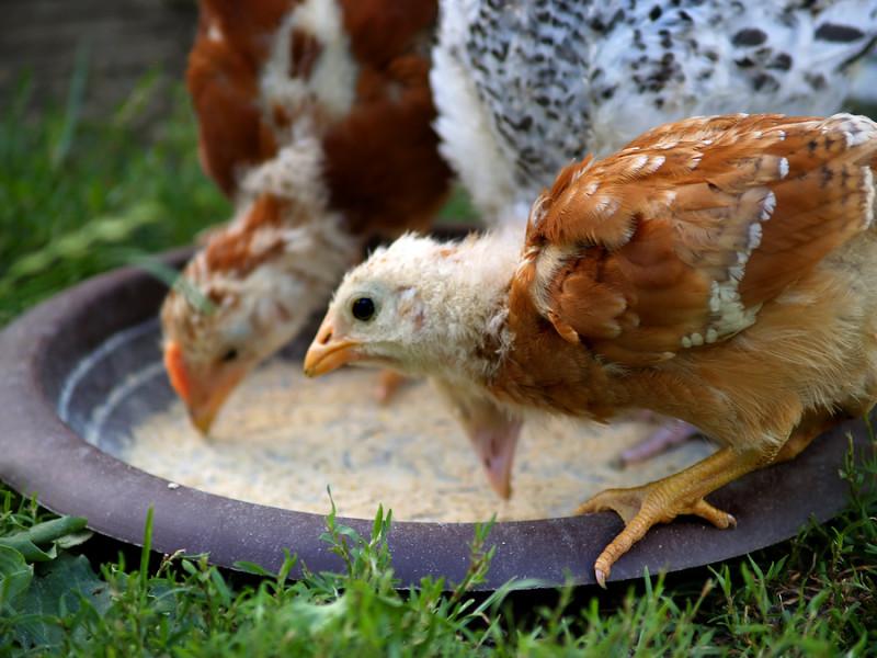 Подросшие птенцы едят на природе