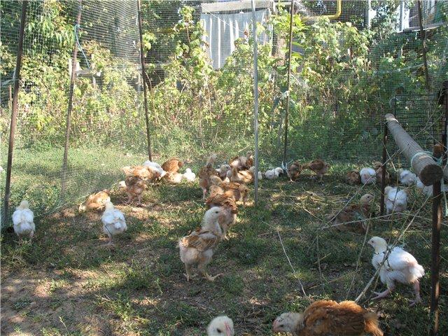 Цыплята на летней прогулке в загоне