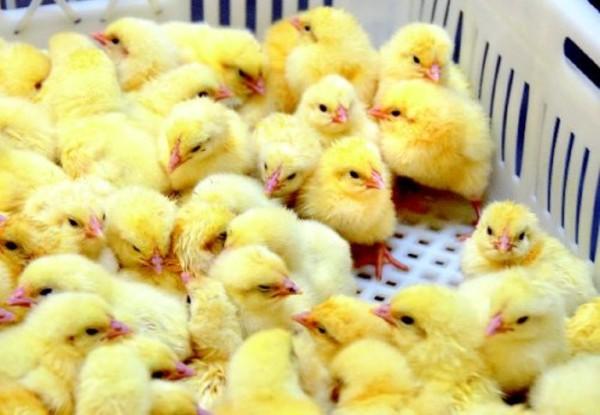 Выводок цыплят бройлеров в