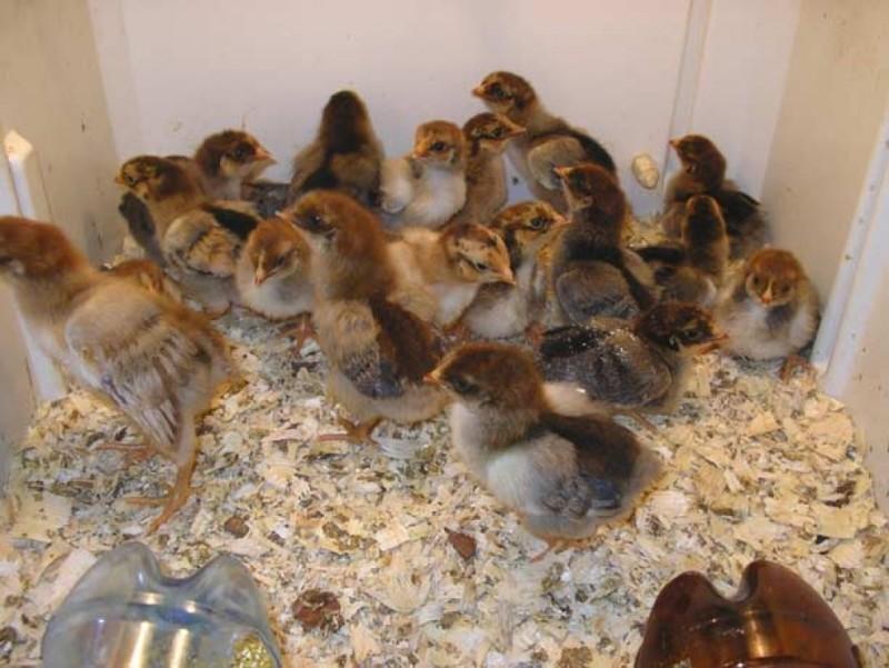 Цыплята в ящике