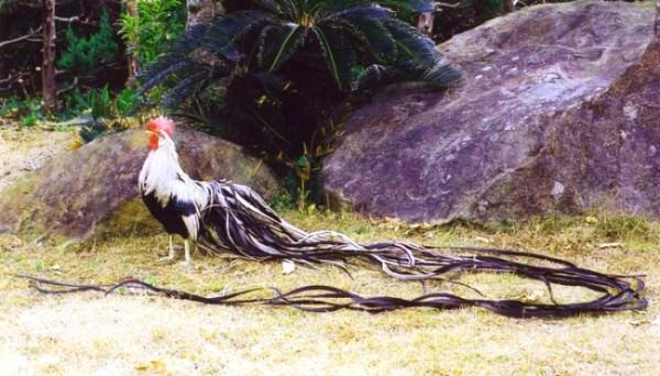 Петух Феникс с очень длинным хвостом