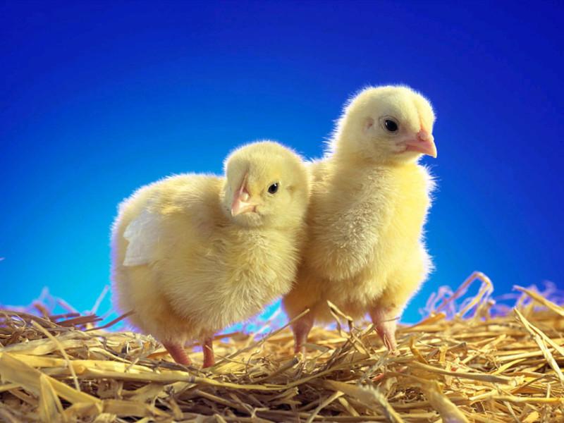 Два цыпленка на сене