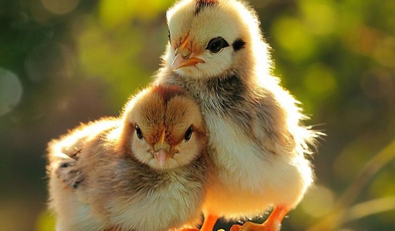 Два цыпленка рядом