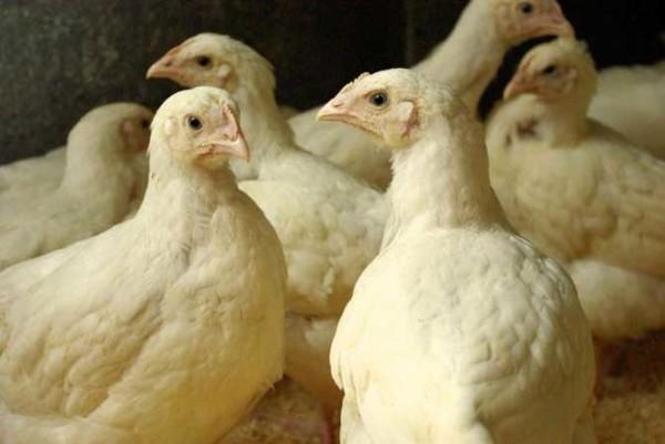 Здоровые представители цыплят бройлеров