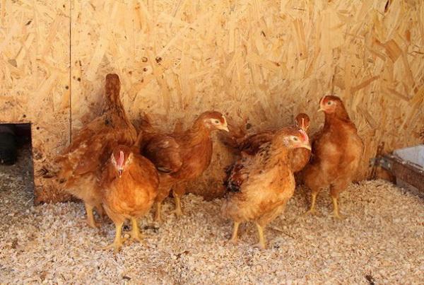 Недельные цыплята Фокси Чик