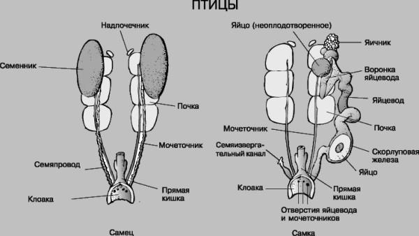 Мочеполовая система курицы и петуха