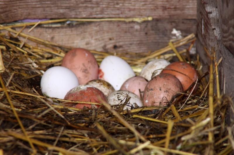 Домашние куриные яйца в гнезде