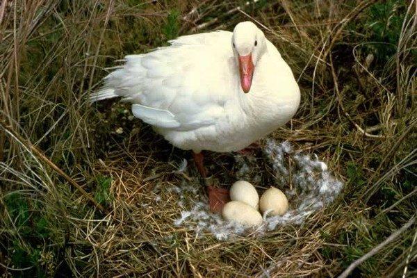 Гусыня на гнезде с яйцами