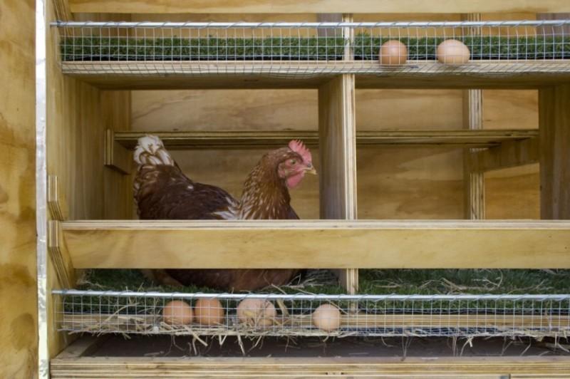 Курица в чистом курятнике