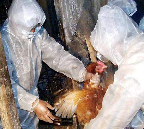 Курицу, заразившуюся болезнью Ньюкасла изолируют