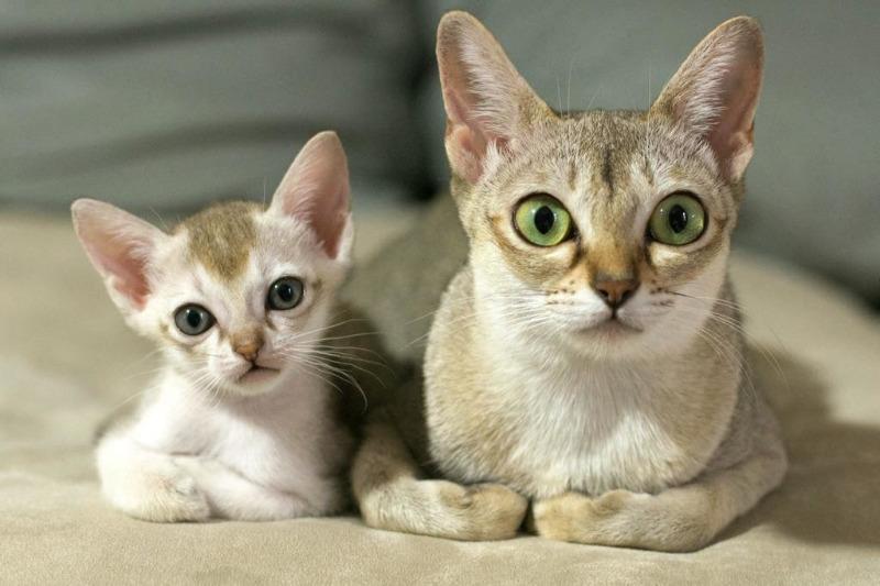 Породы кошек без голоса thumbnail