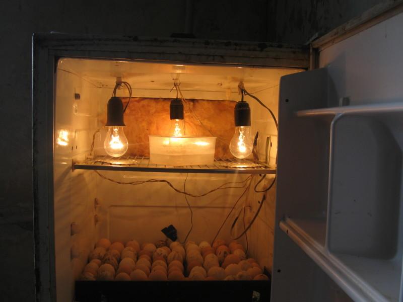 Яйца в инкубаторе из холодильника