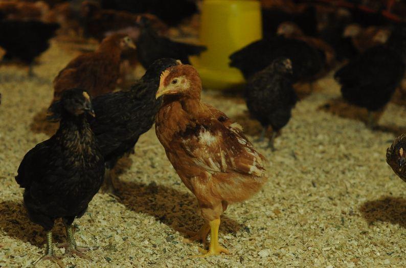 Курица Испанской породы - птенцы