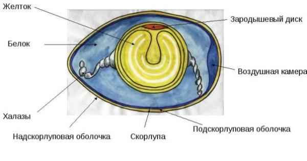 Схема строения яйца