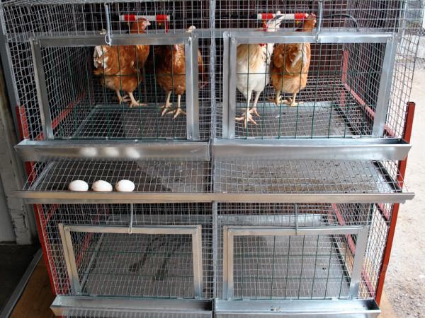 Пример клеточного содержания кур