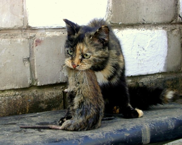 Кот-крысолов поймал крысу