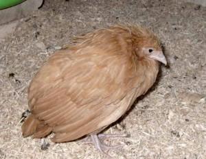 Кокцидиоз у цыпленка
