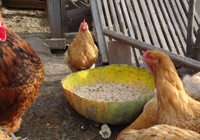 Курицы возле тыквенной кормушки
