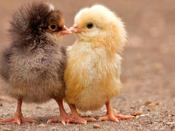 Два цыпленка позируют