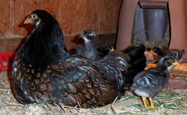Курочка Корниш с цыплятами