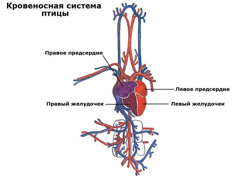 Кровеносная система курицы