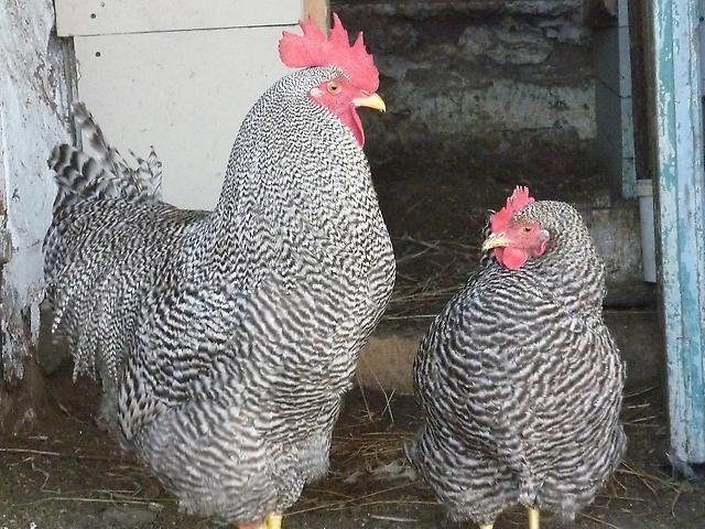 Петух и курица породы Амрокс