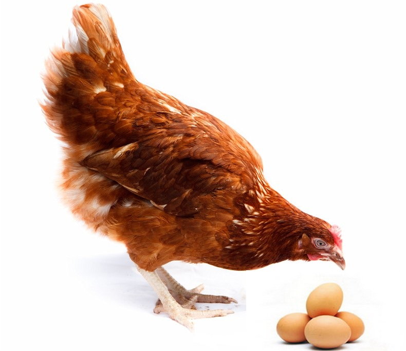 Курица с яйцами на белом фоне