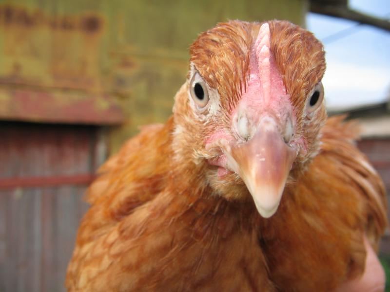 Курица сонник значение
