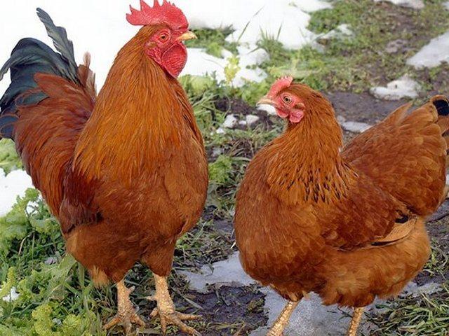 Курица и петух породы Нью Гемпшир