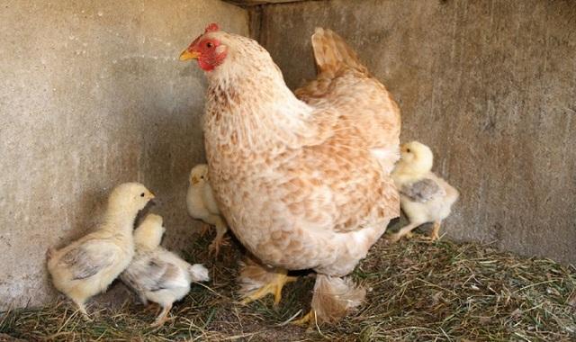Курица породы Фавероль с цыплятами