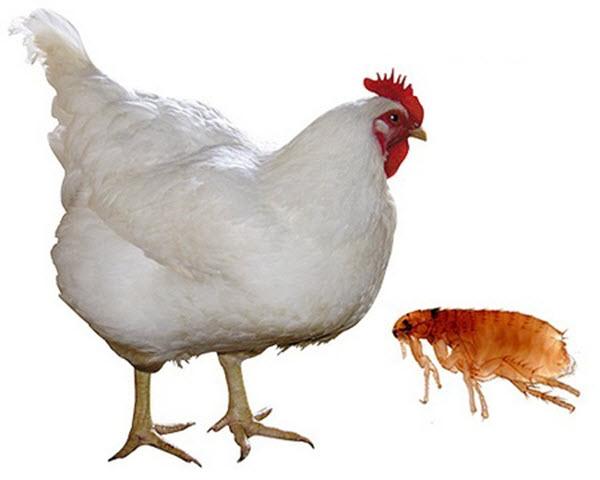 Можно ли есть курицу с блохами