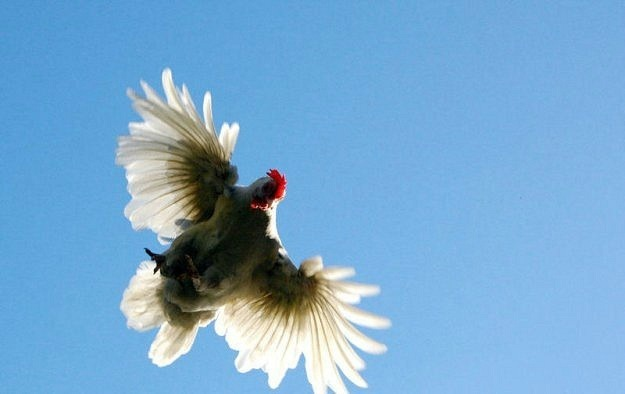 Курица взлетела