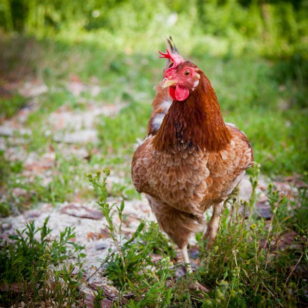 Курица в траве