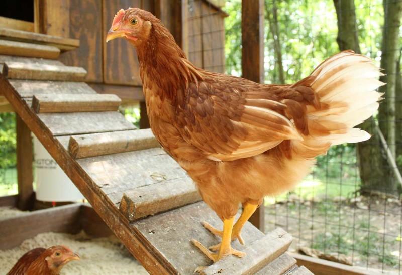 Курица поднимается по лесенке в курятник