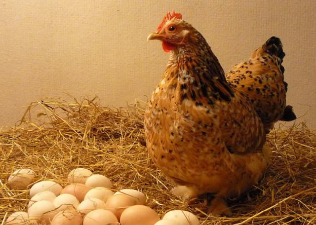 Несушка над яйцами