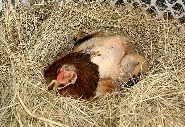Линяющая курица сидит в гнезде