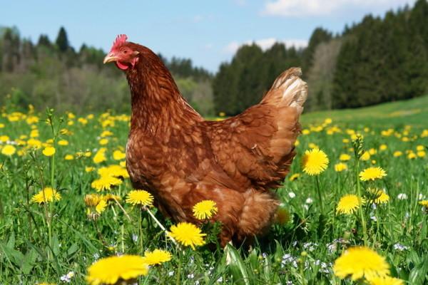 Курица на полянке с одуванчиками