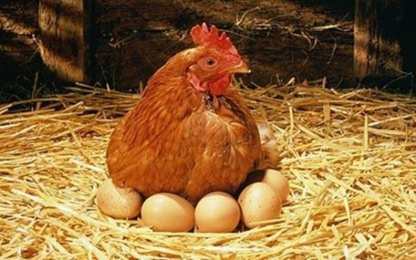 Несушка с яйцами