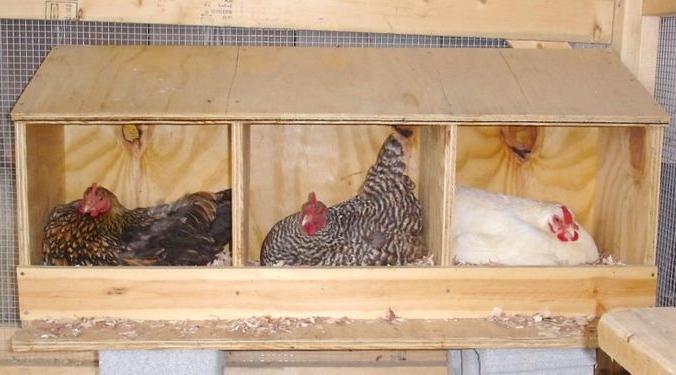 Три домашние курицы несутся