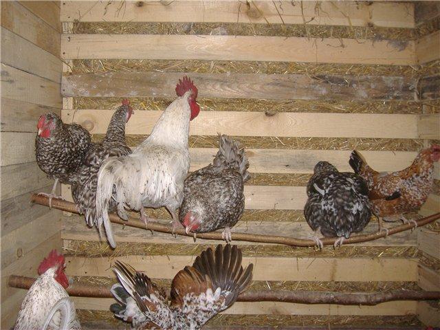 Птицы на жердочках в курятнике