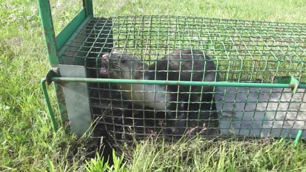 Пойманный в ловушку хорек