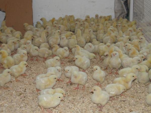 Маленькие цыплята в хозяйстве