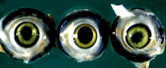 Глаза птицы, пораженные вирусом