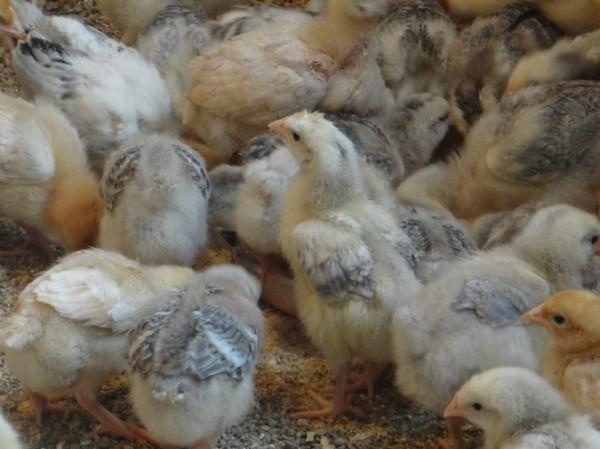 Маленькие цыплята в загоне