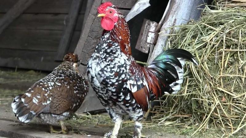 Петух и курица породы Бойцовская Бентамка