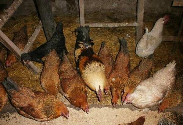 Куры в птичнике едят из кормушки